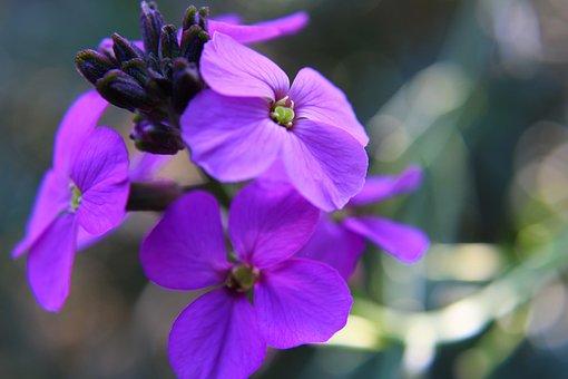 Candytuft, Iberis, Flower, Lilac, Violet, Macro, Nature
