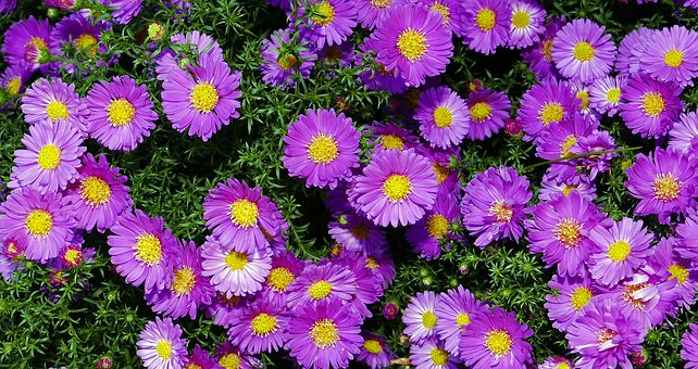 Autumn Flowers, Mini Asters, Small Flowers