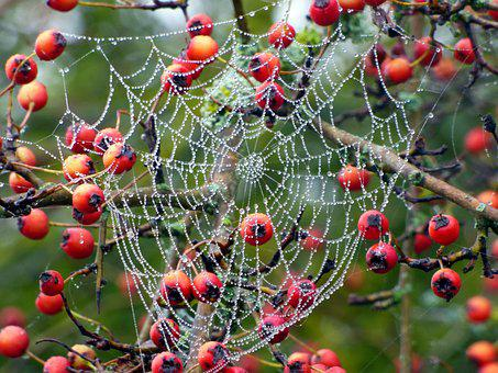 Berries, Red, Canvas, Beads, Dew, Nature, Morning, Fall