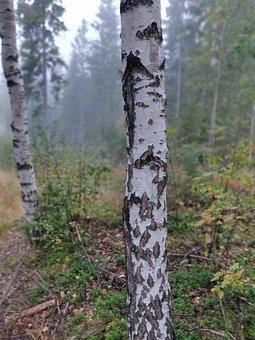 Birch, Tree, Landscape, Natur, Blue, Peace, Sky
