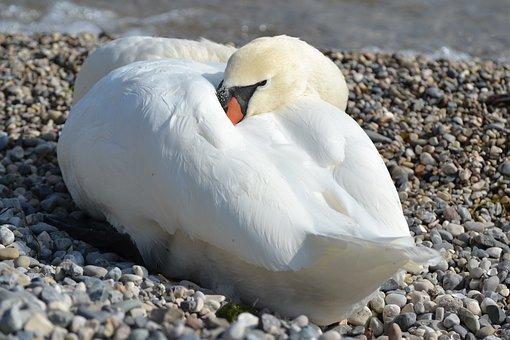 Swan, White, Animal, Nature, Water, Plumage, Bird