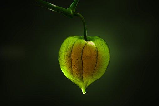 Uvilla, Fruit, Nature, Food, Green, Artistic