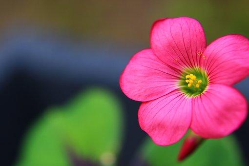 Oxalis, Oxalis Iron Cross, Flower, Plant, Macro, Nature