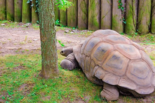 Turtle, Giant, Zoo, Tortoise, Slowly, Panzer, Creature