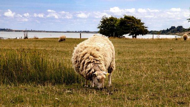 Sheep, Pasture, Wool, Animal, Nature, Flock, Grass