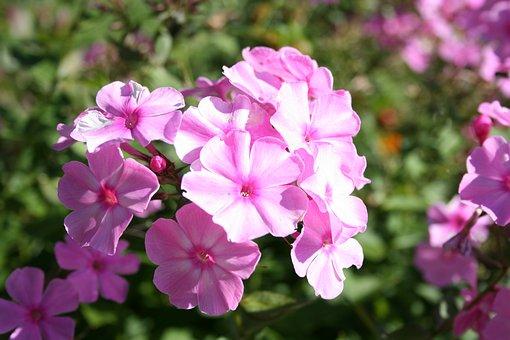 Phlox Pink, Summer Flowering, Garden Flowers, Macro