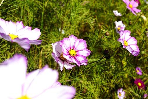 Flowers, Cosmos, Plants, Nature, Pink, Garden