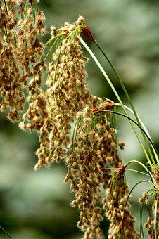 Weed, Seeds, Nature, Plant, Summer, Meadow, Fluffy