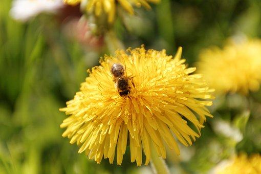 Bee, Dandelion, Yellow, Flower, Pollen, Pollination