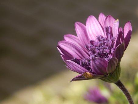 A, Lush, Purple, Daisy, Flower