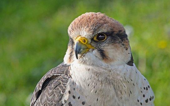 Falcon, Young, Raptor, Portrait, Predator, Bird, Animal