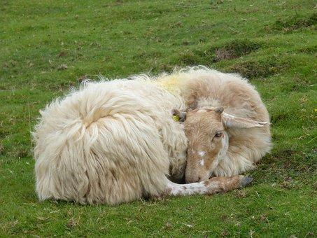 Sheep, Greenery, Pastures, Ferns, Pyrenees, Navarre