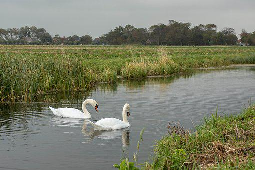 Swan, Swans, Stately, Ditch, Waterfowl, Animal, Water