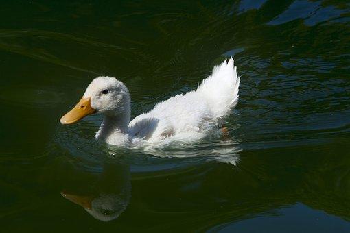 Duck, Pond, Water, Fauna, Animal, Plumage, Birds, Swim
