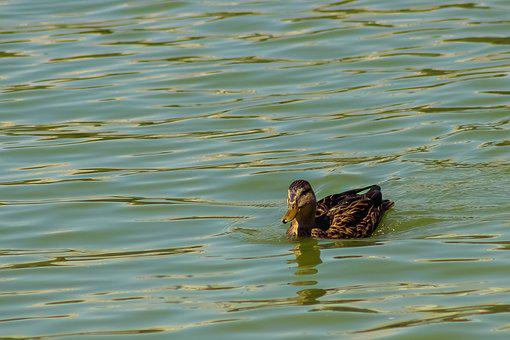 Duck, Lake, Nature, Water, Swim, Animal, Plumage