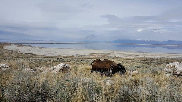Antelope Island, Buffalo, Bison, Utah