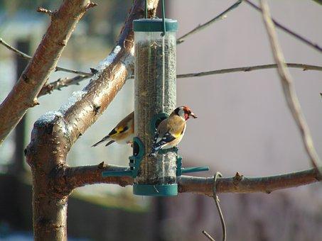 European Goldfinch, Winter, Sunflower Seeds, Bird
