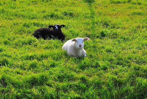 Sheep, Black, White, Wool, Nature, Cute