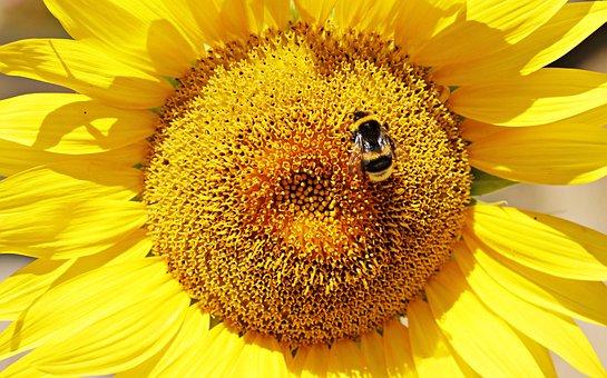 Sunflower, Hummel, Nature, Blossom, Bloom, Yellow