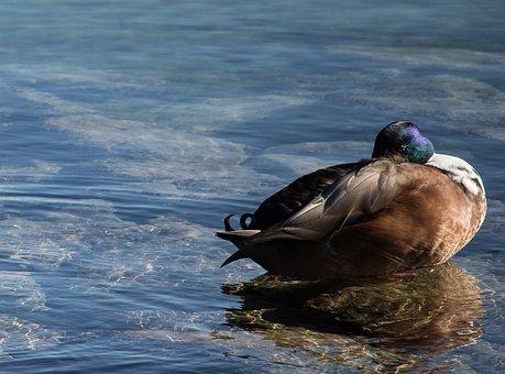 Mallard, Duck, Water Bird, Animal, Duck Bird, Poultry