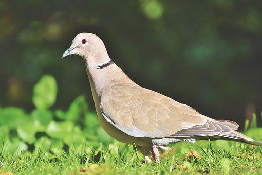 Dove, Ringdove, Bird, Animal, Foraging, Plumage