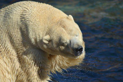Polar Bear, Water, Predator, Bear, Arctic, Zoo, Sea