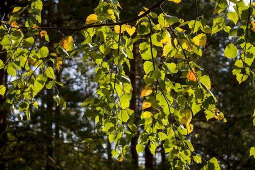 Birch, Leaves, Autumn, Nature, Foliage