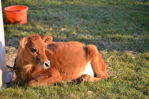 Cow, Calf, Brown Cow, Jersey Cow, Heifer, Baby Animal