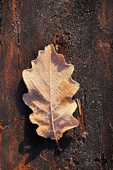 Sheet, Oak, Autumn, Rime, Bark, Brown, Tree