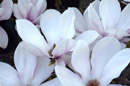 Magnolia, Leaves, Pink, Garden, Spring, Bud, Branch