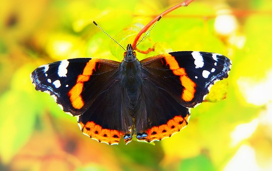 Fair Admiral, Insect, Butterfly Day, Apiformes