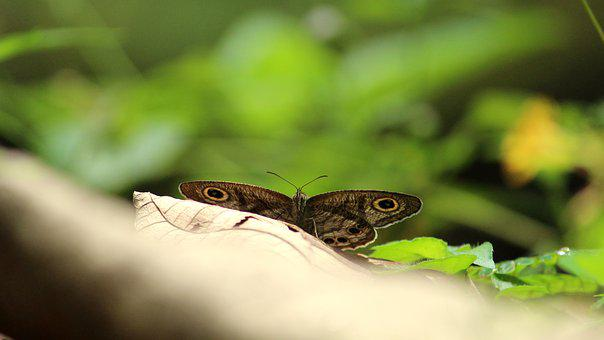 Butterfly, Common, Eyes, Sitting, Wings, Open, Insect