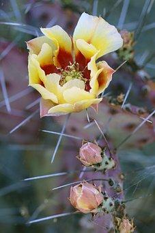 Cactus, Cacti, Nature, Scenic, Succulent, Garden, Bloom