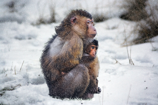 Monkey, Cold, Snow, Nature, Winter
