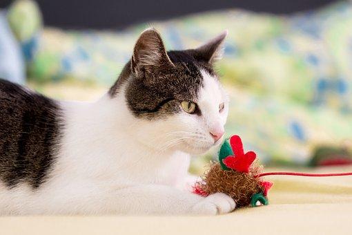 Animal, Pet, Cat, Domestic Cat, Portrait