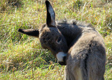 Donkey, Young Ass, Donkey Foal, Foal, Long Eared, Ears