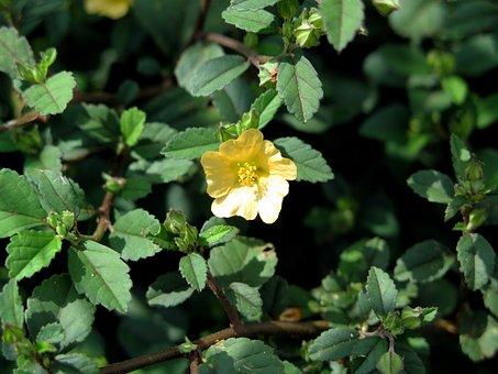 Sida Rhombifolia, Tree Drag, Drag Yellow Flowers