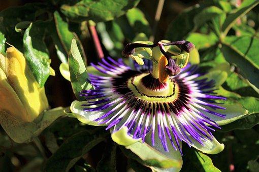 Flower, Passion Flower, Passiflora, Nature, Exotic