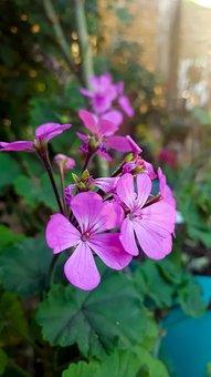 Flowers Gardens Pink Nature Daisies, Garden, Flower
