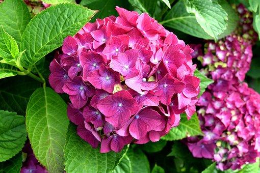 Hydrangea, Pink, Nature, Flower, Garden
