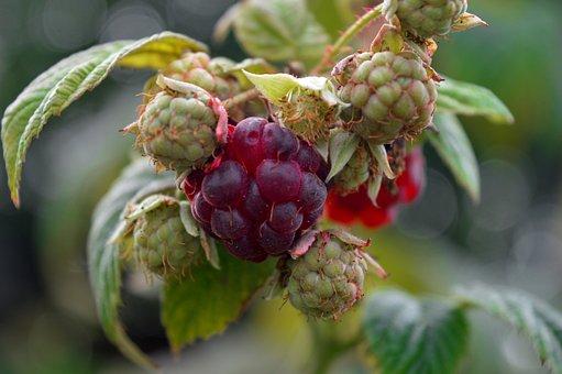 Raspberries, Red, Green, Fruit, Ripe, Immature