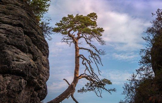 Bastei, Pine Tree, Saxony, Germany, Landscape, Nature