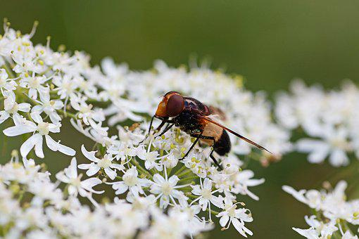 Hoverfly, Insect, Macro, Close Up, Cow Parsley