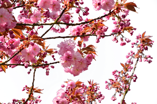 Cherry Blossom Japanese, Isolated, Spring, Tree, Nature