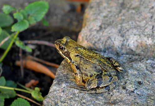 Frog, Jumping Frog, Animal, Stone, Nature, Close Up