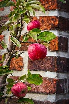 Apple, Autumn, Harvest, Healthy, Red, Kernobstgewaechs