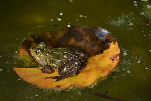 Frog, Pond, Water, Frog Pond, Amphibian, Lily Pad