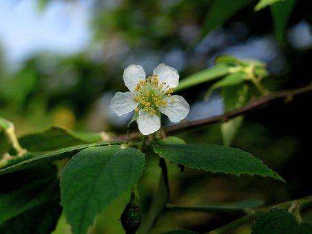 Muntingia, Muntingia Flower, Muntingia Tree