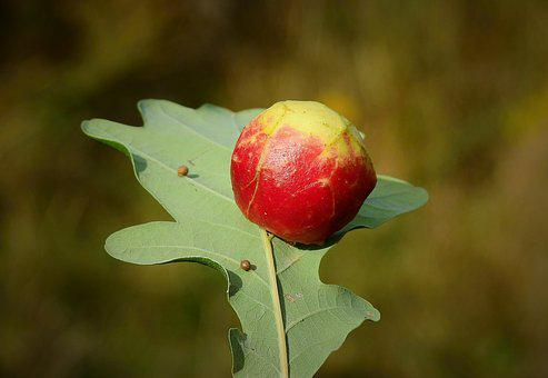 The Apple On The Oak, Leaf, Nature, Autumn