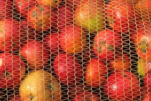 Apfelernte, Fruit Bag, Apple, Orchard, Kernobstgewaechs